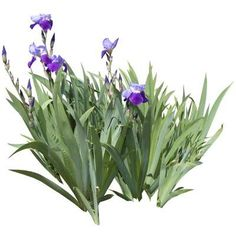 cutout flowers: lilac iris plant (iris texture)