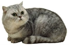Top 10 Fluffy Cat Breeds List [+Parenting Simplified Tips] American Shorthair, Exotic Shorthair, British Shorthair, Cute Kittens, Cats And Kittens, Kitty Cats, Cat Breeds List, Fluffy Cat Breeds, Chartreux Cat