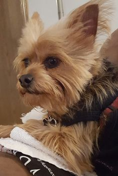 """Sometimes Bentley loves to pose for a picture. Most of the time he turns his head as if to say…"""" too many pictures Mom! """"    Found at: https://itsayorkielife.com/tammys-bentley/  #Yorkie,#YorkshireTerrier,#Yorkielove,#ItsaYorkieLife"""