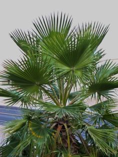 Mexican Palm Care: How to Grow A Mexican Fan Palm In The Landscape