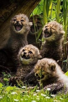 Cheetah brothers must have heard a good joke. The one in the middle looks like he doesn't get it. - Imgur