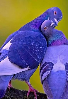 Pigeon love.