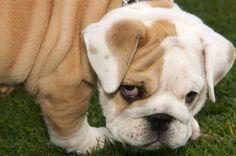 english bulldog - Bing Images