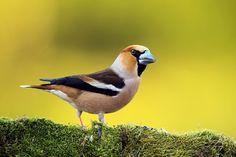 Hawfinch  By: Sandor Bernath