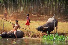 Hij moet naast zijn balanstechnieken al zijn kracht gebruiken om beide onwillige dieren de rivier in te krijgen.  Maar hij heeft het vaker gedaan blijkbaar. Even later zwemt de buffel met de jongen op zijn rug in de rivier, de tweede buffel er achter aan. Goed beschouwd doe ik het hem niet na. Het is dagelijkse routine schat ik in.  Reisverhaal uit Myanmar door communitylid rene52 - NG ReisCommunity © Upload zelf je mooiste reisverhalen op…