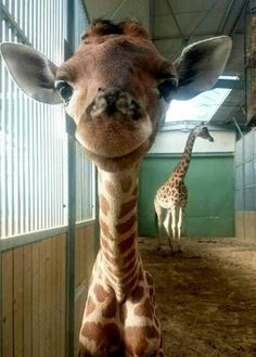 giraffe loves to smile! Born on July 2016 at Touroparc Zoo (Macon, France) Baby giraffe loves to smile! Born on July 2016 at Touroparc Zoo (Macon, France)Baby giraffe loves to smile! Born on July 2016 at Touroparc Zoo (Macon, France) Little Giraffe, Cute Giraffe, Cute Little Animals, Giraffe Baby, Giraffe Neck, Adorable Animals, Funny Giraffe Pictures, Happy Animals, Animals And Pets