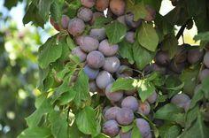 Наша сливка. Абсолютно на кожній садовій ділянці в українських дачників росте хоч би один вид сливи. Цей корисний фрукт давно знають і дуже люблять в нашій країні. Сливи ми вживаємо у свіжому, сушеному і вареному вигляді. Різні компоти, варення і джеми, виготовлені з цього фрукта, не лише дуже смачні, але і зберігають усі поживні елементи свіжого продукту.