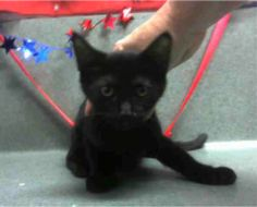 BECOMES URGENT & AT RISK AFTER JULY 8TH  LITTERMATE: A475526 & A475529  #A475527 Moreno Valley CA female black Domestic Shorthair. The shelter thinks I am about 4 months old.  I have been at the shelter since Jul 08 2017 and I may be available for adoption on Jul 08 2017 at 10:00 AM.  http://ift.tt/2uxyFwS  Moreno Valley Animal Shelter at (951) 413-3790 Ask for information about animal ID number A475527  #Adoptdontshop #Adoptdontshopcalifornia #morenovalley #californiascats #catsofinstagram…