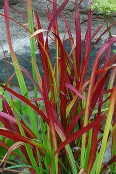 Imperata Cylindrica - Japanese Blood Grass- poolside and along back fence