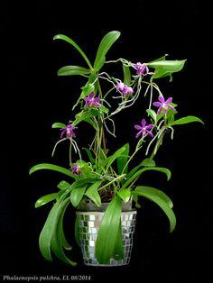 Phalaenopsis Pulchra | Phalaenopsis pulchra