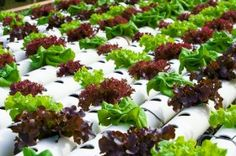 Aquaponics: A Mechanism that Combines Plants, Fish and Water-image