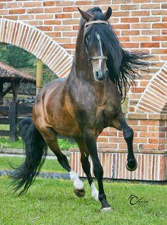 Principe de la Maracana FC, Paso Fino stallion, by Cheri Prill.