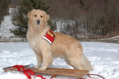 Saint Francis Service Dogs know how to make winter look fabulous! Cute Puppies, Cute Dogs, Dogs And Puppies, Doggies, Golden Life, Golden Dog, Baby Animals, Cute Animals, 15 Dogs