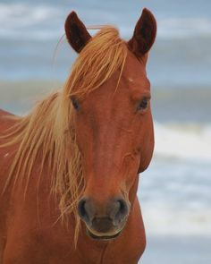 Wild mustang mare on Corolla beach summer 2012. Photo of one of the Corolla #Wild Horses on the Outer Banks of NC . Photo taken by Deb Young