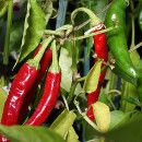 Cómo cultivar chiles o guindillas ecoagricultor.com