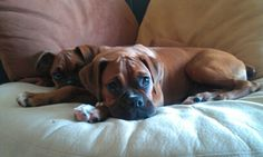 Boxer dogs love to cuddle and spoon