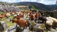 Serra da Freita Portugal, Nature, Free, Animals, Chop Saw, Places, Naturaleza, Animales, Animaux