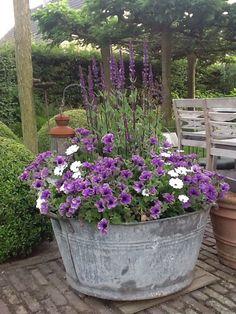 Salvia and Petunia planter.