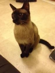 Pearl is an adoptable Siamese Cat in Gillette, WY. Pearl