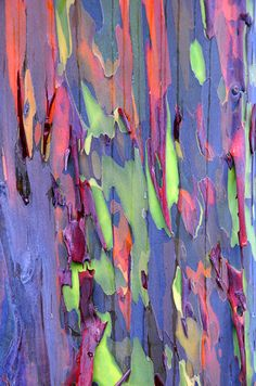 rainbow eucalyptus, maui. the phenomenon is caused by patches of bark peeling off at various times and the colurs are indicators of age. the newly shed outer layer of bright greens darken over time into blues and purples, then orange and red tones.