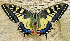 Farfalla, Rondine Farfalla A Coda