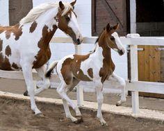 """ Solaris Excalibur Solaris Sport Horses "" "" Solaris Excalibur Solaris Sport Horses "" - Art Of Equitation Most Beautiful Horses, All The Pretty Horses, Animals Beautiful, Beautiful Creatures, Animals And Pets, Baby Animals, Cute Animals, Cute Horses, Horse Love"