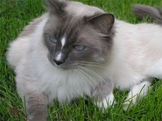 I have a first date with a ragdoll cat today. Meeting with him and his owner.  Hope it goes well;)