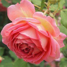 'Jubilee Celebration' in my garden Have a lovely start to the week, everyone  今週もよろしくお願いします #rose #roses #jubileecelebration #davidaustin #englishrose #pinkroses #flower #inmygarden #mygarden #minhave #gardening #123pinks #123flowerscolors #_international_flowers_ #rosestagram #topfleur #global_nature_pinks #ig_flowers #pkt_flowers #my_daily_flower #instagardenlovers #pkt_flowers_02 #my_daily_flower #flower_pinks #flowerstalking #マイガーデン #バラ #ジュビリーセレブレーション #スウェーデンハウス #庭