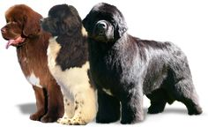 I WILL have one or two Newfoundland's when i get my own house! Best believe!