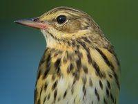 Atlas ptáků: linduška luční, lesní a horská Owl, Bird, Animals, Mother Nature, Animales, Animaux, Owls, Birds, Animal