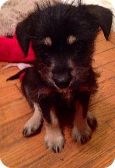 Jasper, TN - Dachshund/Shih Tzu Mix. Meet Jessie a Puppy for Adoption.