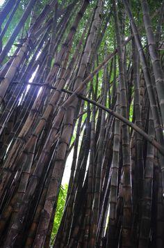 Giant bamboo at Jardín Botánico La Laguna | San Salvador, El Salvador