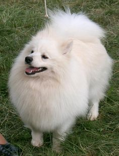 The Klein German Spitz are intelligent and lively, are superb companions to their loved ones, and can alert when strangers approach with plenty of barking.