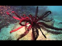 Feather star - Shinkoku Maru - YouTube