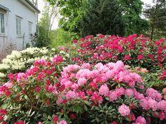 Rhododendron i mai
