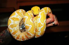 Albino reticulated python, what a beauty Python Royal, Retic Python, Reptiles Facts, Reptiles And Amphibians, Beautiful Snakes, Animals Beautiful, Dream Snake, Reticulated Python, All About Snakes