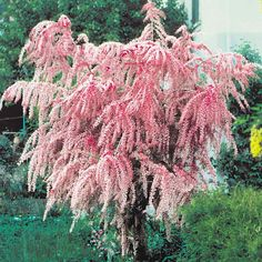 Tamarix tetrandra - Late Autumn / Winter Flowering Shrubs - Shrubs by Season - Shrubs - Mail Garden Shop