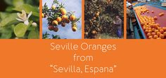 Beautiful Seville Oranges all ready to make some delicious marmalades. Rosie will show you her foolproof Rosie Makes Marmalade