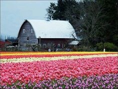 Mt. VERNON WASHINGTON....TULIP FESTIVAL