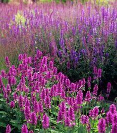 "Stachys Officinalis 'Hummelo' 93 of 100 must have garden plants, 'chosen by people like Dan Pearson, Piet Oudolf, Fergus Garrett and others..."" http://www.juniperhillfarmnh.com/2011/03/100-must-have-garden-plants.html"