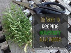 Розмарин красивый и вкусный травы.  Сохранение розмарина растений в живых в…