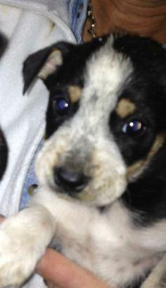 06/27/15 sl ~Bullett Australian Cattle Dog (Blue Heeler) • Young • Male • Large Furry Friendzy Dallas, TX