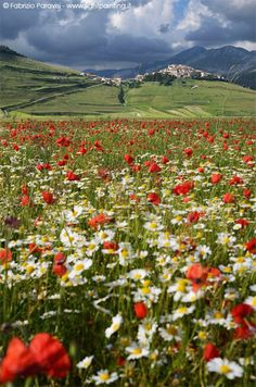 Travel Guide to Castelluccio di Norcia in Italy for lentil blooming Beautiful World, Beautiful Places, Flanders Field, Lavender Garden, Flower Landscape, Felder, Beginner Painting, Flower Farm, Beautiful Landscapes