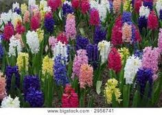 Image result for hyacinth flowers