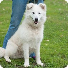 5/1/16 New Martinsville, WV - Great Pyrenees/Samoyed Mix. Meet Rio, a dog for adoption. http://www.adoptapet.com/pet/15428750-new-martinsville-west-virginia-great-pyrenees-mix