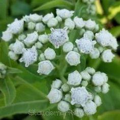 Parthenium integrifolium  - Vild kinin