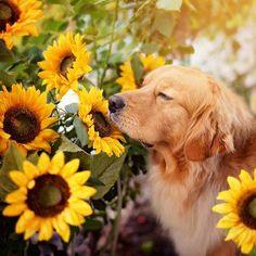 Daisy Wallpaper, Golden Life, Cute Cats And Dogs, Sunflower Fields, Puppy Love, Dog Cat, Cavalier, Puppies, Bear