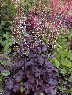 "'Purple Mountain Majesty' (PP#16,405) is one of our favorite new Heucheras. It has been more sun tolerant for us in the past several years than almost any of the other new heuchera hybrids.   Growth Habit - Compact mound of foliage to about 8"" high X 12"" wide. Very sturdy, erect flower stems to 18"" to 24"".    Foliage - The leaves are dark purple with light silver markings and form a dense clump. The undersides of the leaves are dark red-purple.    Flowers - The creamy white flowers are…"