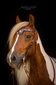 """ Irish Cob ""Silas"" with a wonderful bridle from The War Horse! Fine Photography ‎Heart of a Horse "" Beautiful Horse Pictures, Most Beautiful Horses, Animals Beautiful, Cute Animals, Horse Bridle, Horse Gear, Cute Horses, Horse Love, Cavalo Wallpaper"