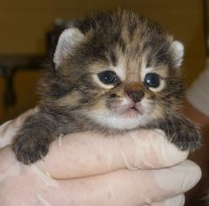 African Black-Footed Kittens rarely seen in captivity are an endangered species. The embryos were frozen for almost 6 years before being thawed and transferred to a surrogate mother. Two males were born on Feb. 13, 2011.